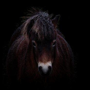 Exmoor pony in de sneeuw