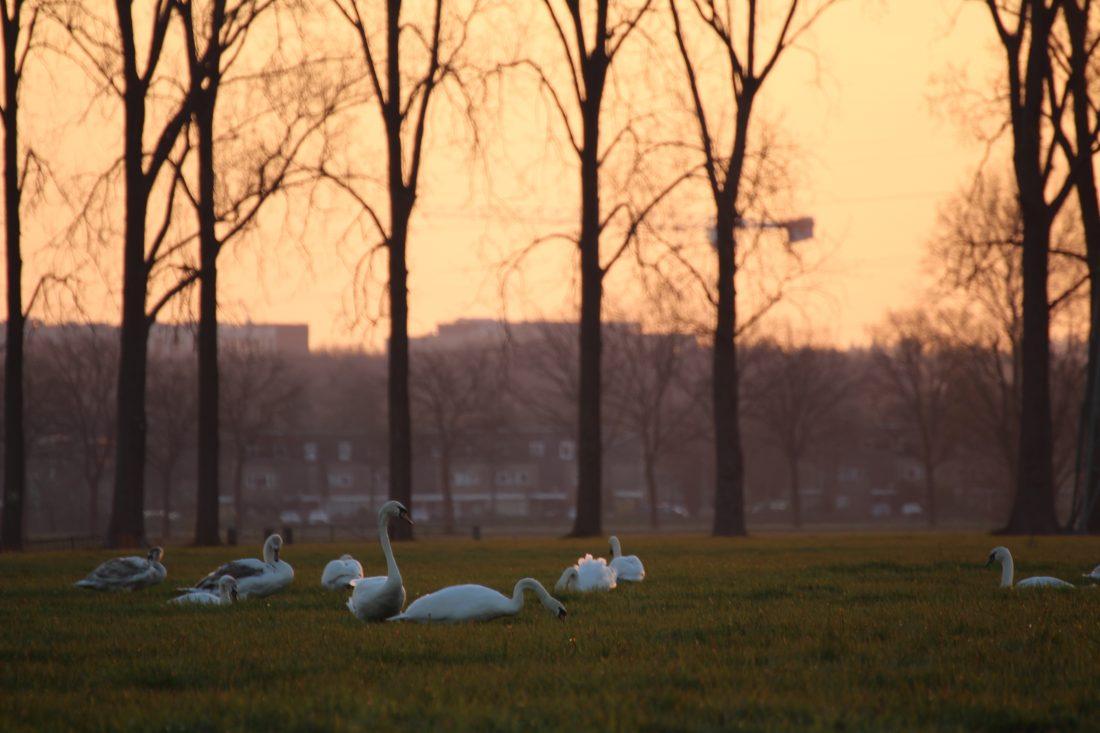 Zwanen bij zonsopkomst