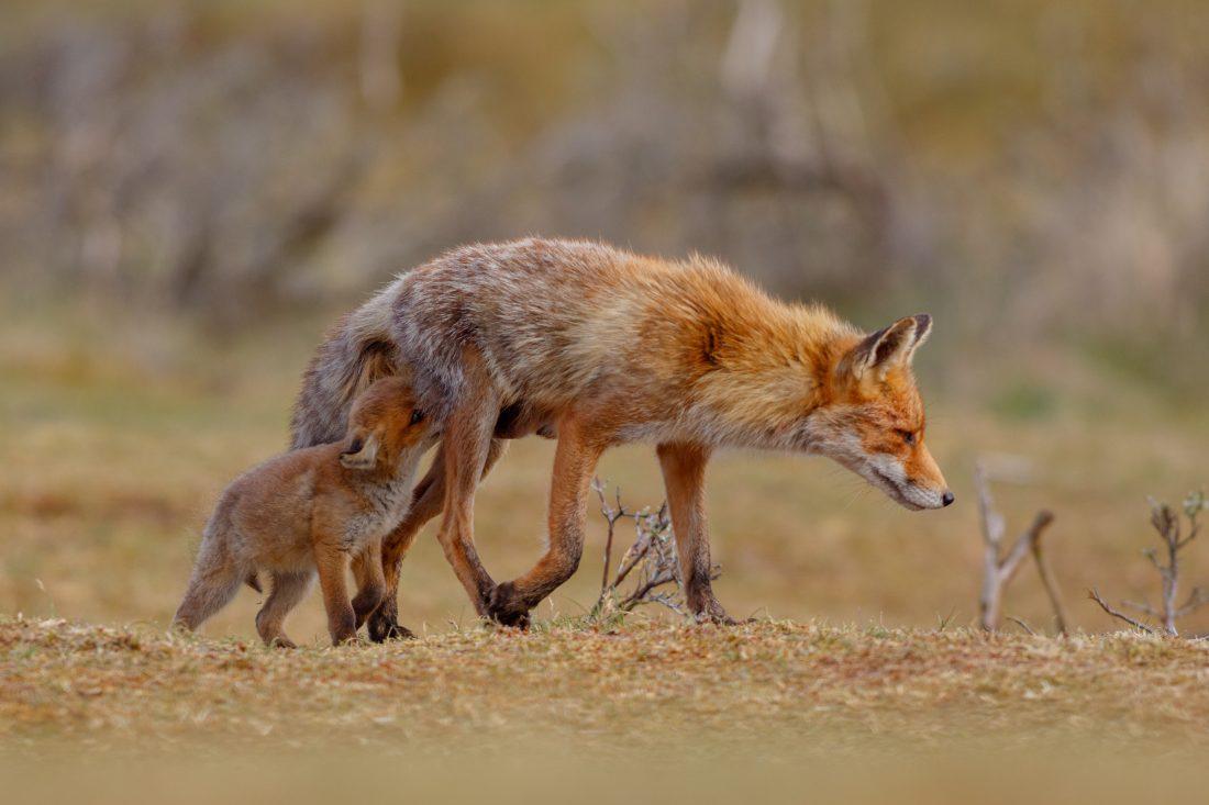 Vossenwelp en moervos