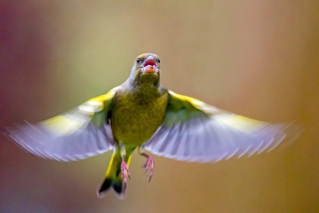 vliegende groenling