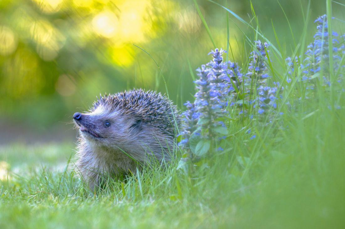 Nieuwsgierige egel