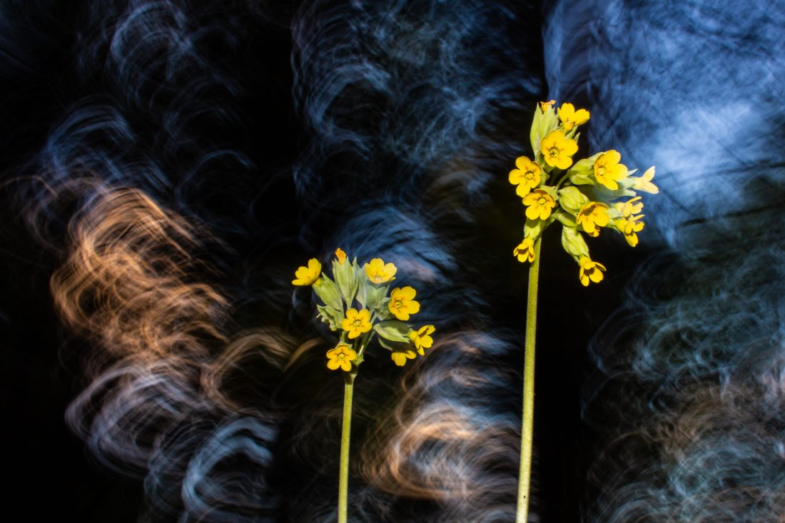 Impression of cowslips